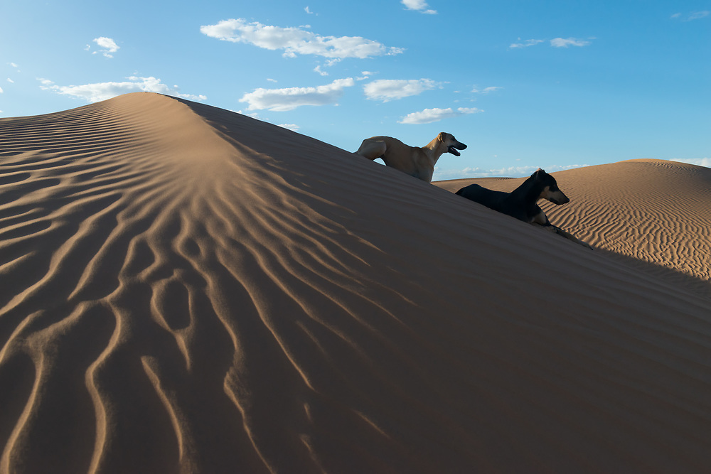 Two Sloughi dogs (Arabian greyhound) rest on top of a sand dune in the Sahara desert of Morocco.