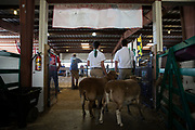 WASHINGTON, USA - September 29: Two teens wait with their sheep before the 4-H Sheep Show at the Calvert County Fair in Barstow, Md., USA on September 29, 2017. Livestock are often showcased at fairs and there are competitions for farmers and breeders to show off their animals.