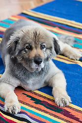 German Shepherd Chow Lab dog at home