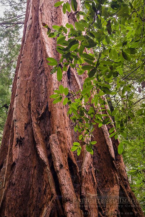 Redwood tree trunk (detail) in forest, Big Basin State Park, Santa Cruz County, California