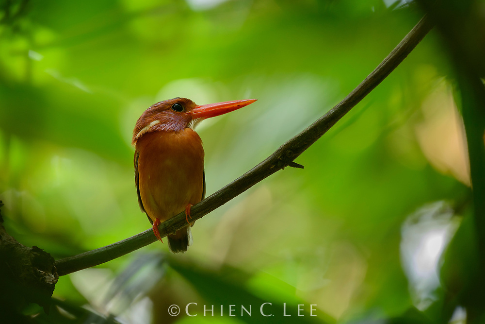 At only 12cm in length, the Sulawesi Dwarf Kingfisher (Ceyx fallax) is one of the smallest kingfishers. It is a bird of the forest, feeding on small lizards and insects, and is endemic to Sulawesi and a few offshore islands, although scarce and patchily distributed. Gorontalo, Indonesia.