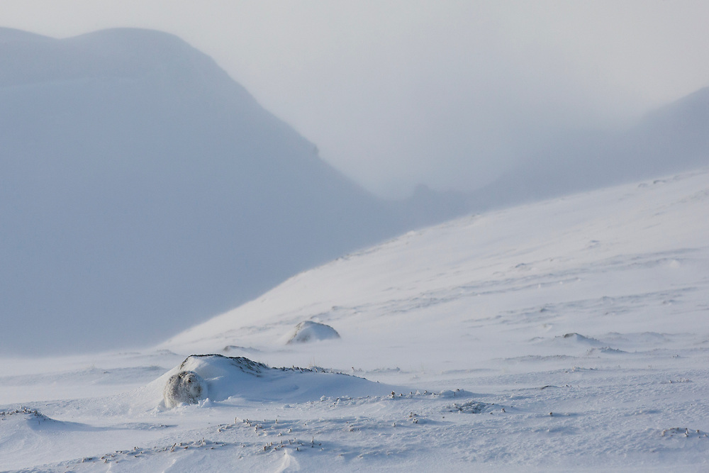 Mountain Hare (Lepus timidus) in white winter coat sheltering from wind in snowy landscape, Scotland