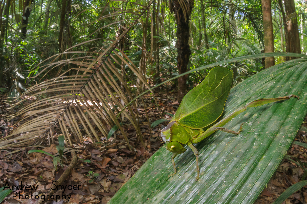 A large katydid (Steirodon sp.) from Berbice Forest, Guyana