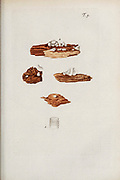hand painted Botanical illustration of flower details leafs and plant from Miscellanea austriaca ad botanicam, chemiam, et historiam naturalem spectantia, cum figuris partim coloratis. Vol. I  by Nicolai Josephi Jacquin Published 1778. Figure 9