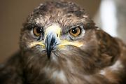 Africa, Tanzania, Serengeti National Park Tawny Eagle, Aquila rapax close up