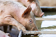 Gloucester Old Spot pig drinks from a trough, Gloucestershire, United Kingdom