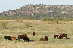 Bison grazing on grazing prairie with Caprock in background, Texas State Bison Herd, Caprock Canyons State Park, Quitaque, Texas USA.