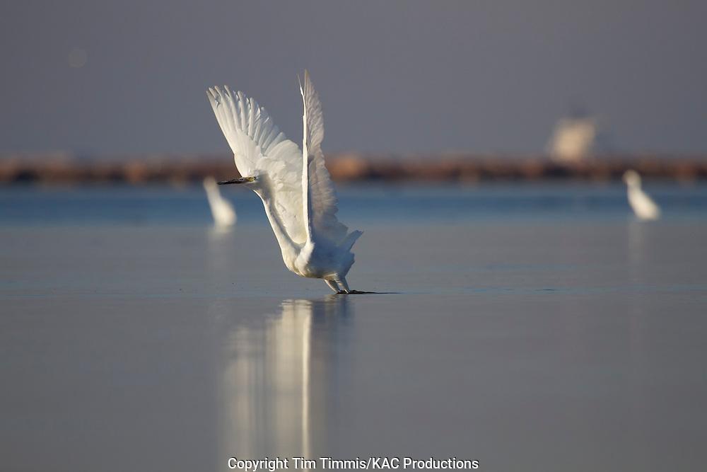 Reddish Egret, Egretta rufescens, Bolivar Flats, Texas gulf coast, white morph, raised wings, lift off