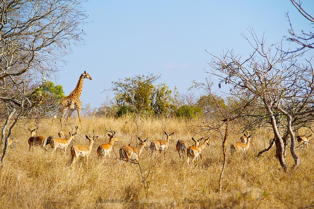 Giraffe (Giraffa camelopardalis) and Impala (Aepyceros melampus) in Southern Africa