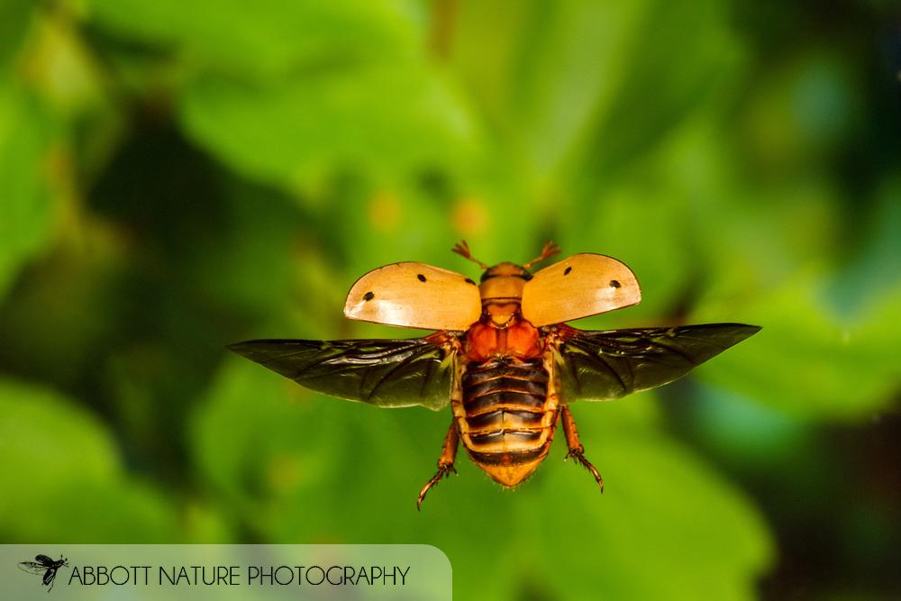 Grapevine Beetle (Pelidnota punctata) flying<br /> United States: Alabama: Tuscaloosa Co.<br /> Tulip Tree Springs off Echola Rd.; Elrod<br /> 16-May-2017<br /> J.C. Abbott #2947
