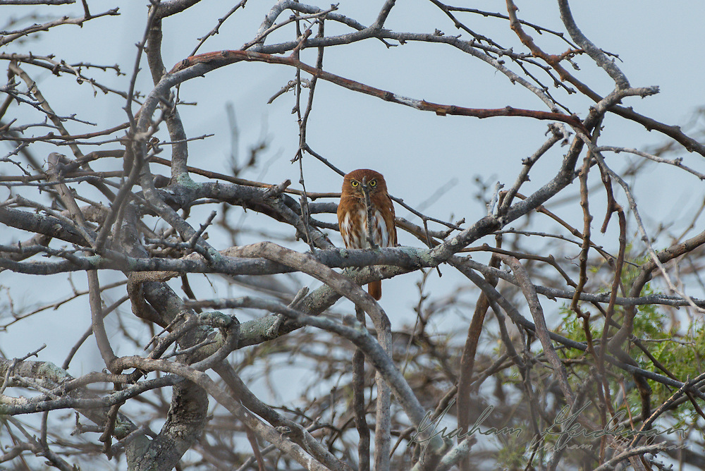 A Ferruginous Pygmy Owl (red morph) (Glaucidium brasilianum) seems to hide behind a twig from prying eyes. Taken in La Guajira, Colombia, the Ferruginous Pygmy Owl is the only likely owl in the area to be seen in broad daylight.
