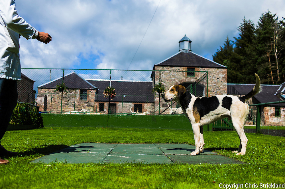 Abbotrule, Bonchester Bridge, Hawick, Scotland, UK. 19th July 2015. Huntsman Johnny Richardson works with the doghound Cracker in the showing ring.