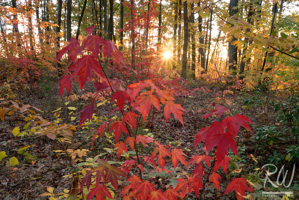 Sunset Through Fall Foliage on Gray's Arch Trail at the Red River Gorge Geological Area, Daniel Boone National Forest, Kentucky