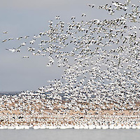 flock of snow geese take off in masses, freezeout lake, montana