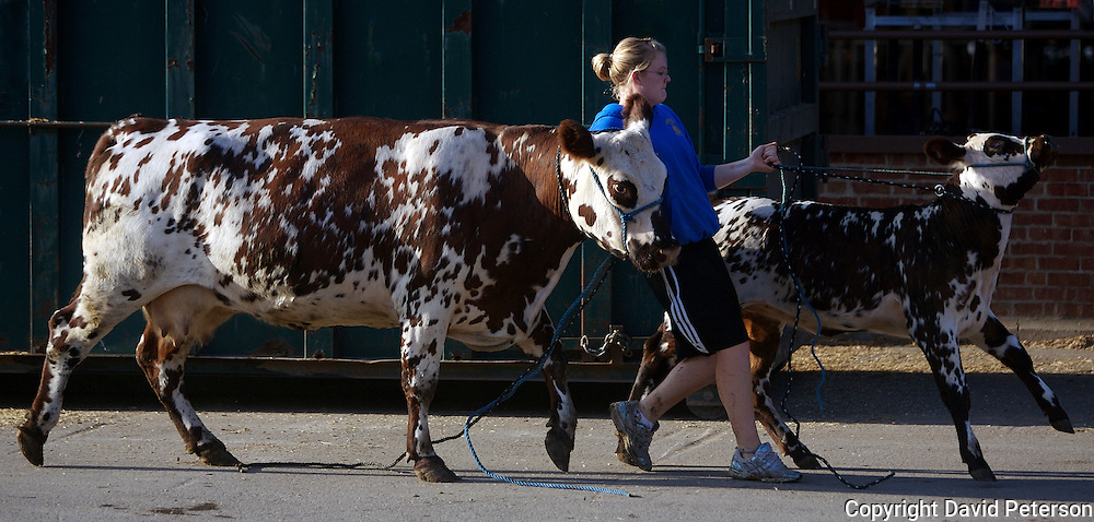 Julia Griffieon from Ankeny, Iowa, struggles to lead a Normande breed mother and calf to the cattle barn at the Iowa State Fairgrounds.  Griffieon, a 4H member, was volunteering at the 2008 fair held annually in Des Moines, Iowa.  The Normande breed, whose origin in French, is black and white spotted and raised for both dairy and beef.