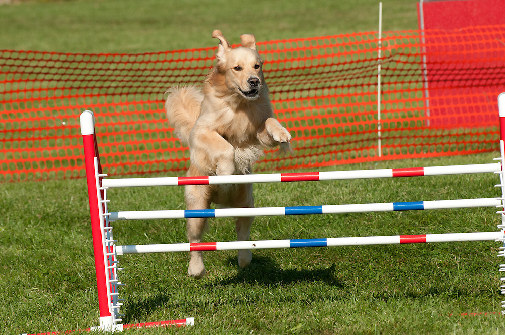 Golden Retriever jumping a hurdle in AKC agility competition in NY