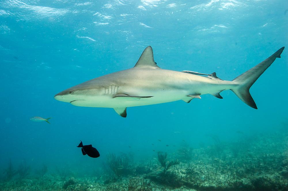 A Caribbean Reef Shark, Carcharhinus perezi, swims over a coral reef in Bimini, Bahamas, North Atlantic.