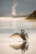 The sublime beauty of the Trumpeter Swan is almost otherworldly. These elegant birds are one of my favorites to photograph and each year I wait anxiously for their return to the park in late autumn. Trumpeters are a species of special concern in Yellowstone with only 29 resident swans in the park in 2016. Efforts have been made to bolster the park's waning swan population with birds being released in Hayden Valley for three consecutive years. Researchers hope some of the released birds will return to the park in the future to nest.