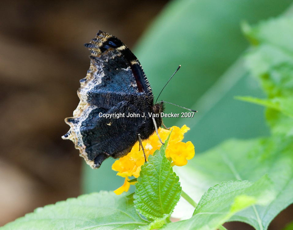 Mourning Cloak butterfly with wings folded.