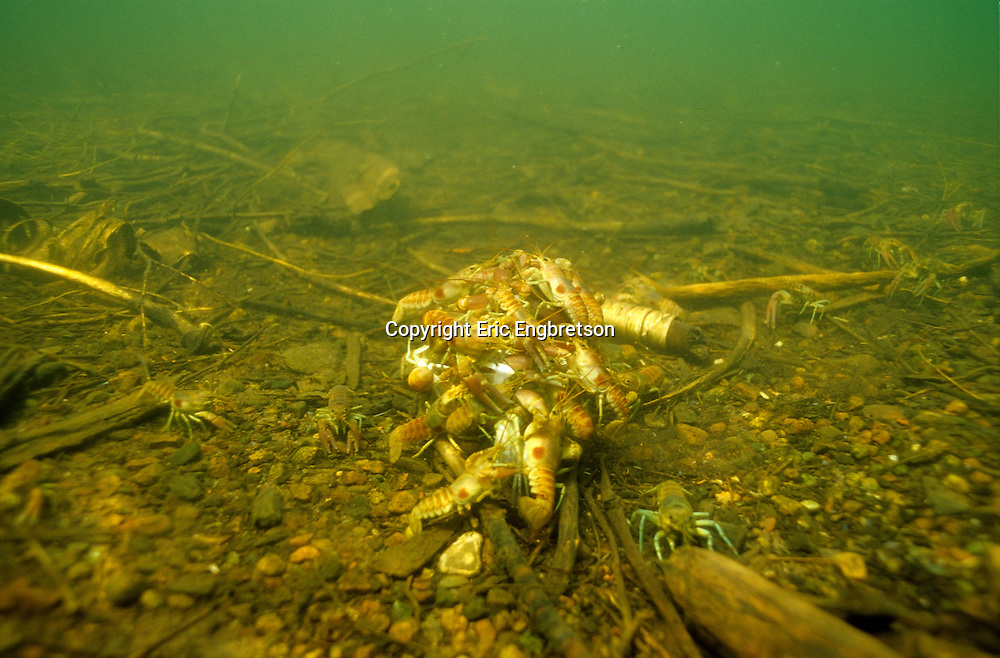 Group of Rusty Crayfish feeding on a dead fish<br /> <br /> ENGBRETSON UNDERWATER PHOTO