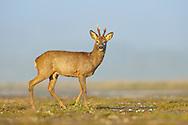 Western Roe Deer (Capreolus capreolus) male crossing farm track, South Norfolk, UK. April.