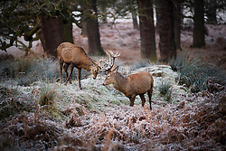 © Licensed to London News Pictures. 05/01/2017. London, UK. Deer stag seen rutting on a frozen woodland landscape in Richmond Park, London as cold weather continues across the UK. Photo credit: Ben Cawthra/LNP