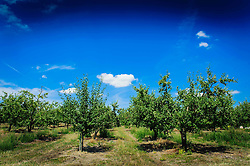 Plum trees cultivated on the Cotes de Duras, Lot et Garonne, Aquitaine, France<br /> <br /> (c) Andrew Wilson | Edinburgh Elite media