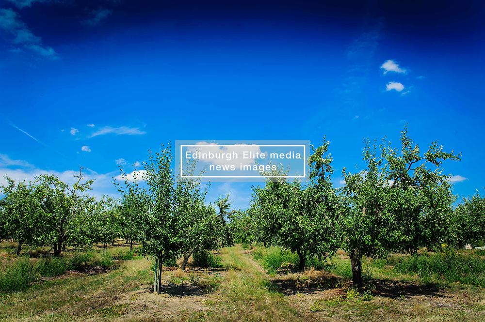Plum trees cultivated on the Cotes de Duras, Lot et Garonne, Aquitaine, France<br /> <br /> (c) Andrew Wilson | Edinburgh Elite media