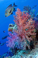 Sweetlips and Soft Corals