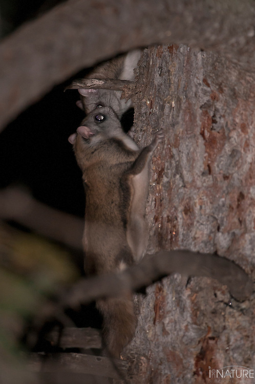 Two northern flying squirrels meeting on the bole of a white spruce tree.