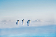 Emperor penguins on the long walk between their colony and the sea.  Gould Bay, Weddell Sea, Antarctica.