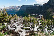 Harsh alpine climate has stunted and deformed an evergreen tree into Krummholz (or Krumholtz) formation in Two Medicine Valley on the Dawson Pass Trail in Glacier National Park, Montana, USA.