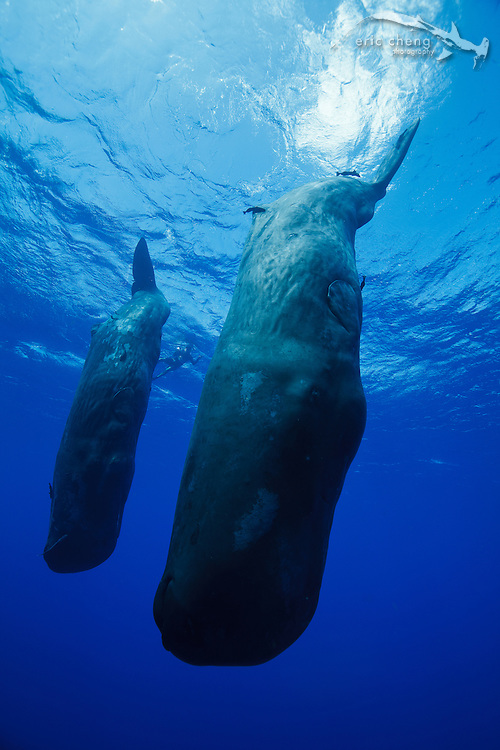 Two sperm whales (Physeter macrocephalus) enter a shallow dive in Dominica.
