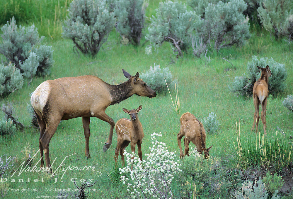 Elk (Cervus canadensis) cow with spring calves in a sage brush prarie during early summer in Wyoming.