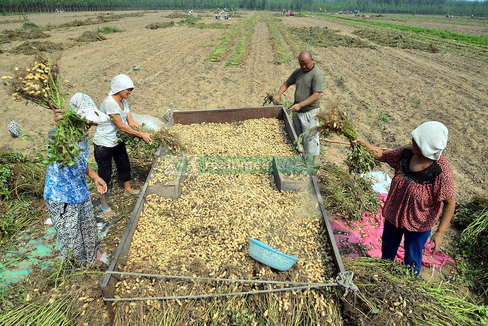 September 14, 2016 - Liaocheng, Liaocheng, China - Liaocheng, CHINA-September 14 2016:?(EDITORIAL?USE?ONLY.?CHINA?OUT) ..Peasants are busy collecting and airing peanuts in Chiping County, Liaocheng, east China¡¯s Shandong Province. As the autumn comes, peasants have attaind good harvest of peanuts in more than 60,000 mu of peanut fields in Chiping County. (Credit Image: © SIPA Asia via ZUMA Wire)