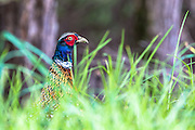 Ring-necked Pheasant coming out of the forest clearing, Waiheke Island, New Zealand