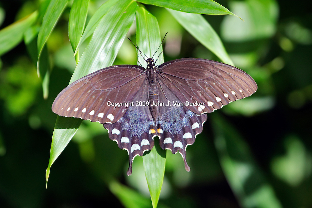 Black Swallowtail Butterfly female with wings spread