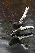 American dipper on a pond along the Yaak River during a snowstorm in late fall. Yaak Valley in the Purcell Mountains, northwest Montana.