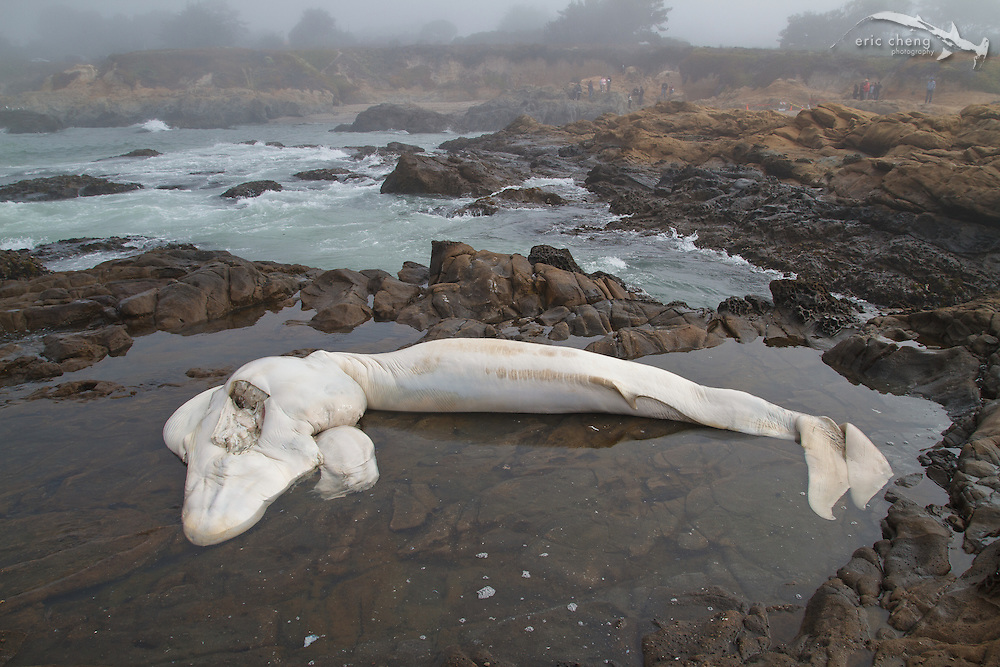 6-month old blue whale fetus(Balaenoptera musculus), which was ejected from its mother after a suspected collision with a boat. Bean Hollow State Beach near Pescadero Beach, Northern California. (GPS coordinates: 37.227072, -122.410529)