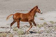 Foal trots through arid landscape in north-western New Mexico to catch up with mother, members of a small free-ranging band, © 2015 David A. Ponton