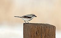 A Loggerhead Shrike brings a small insect back to its mate that is tending its nest just down the fence line.