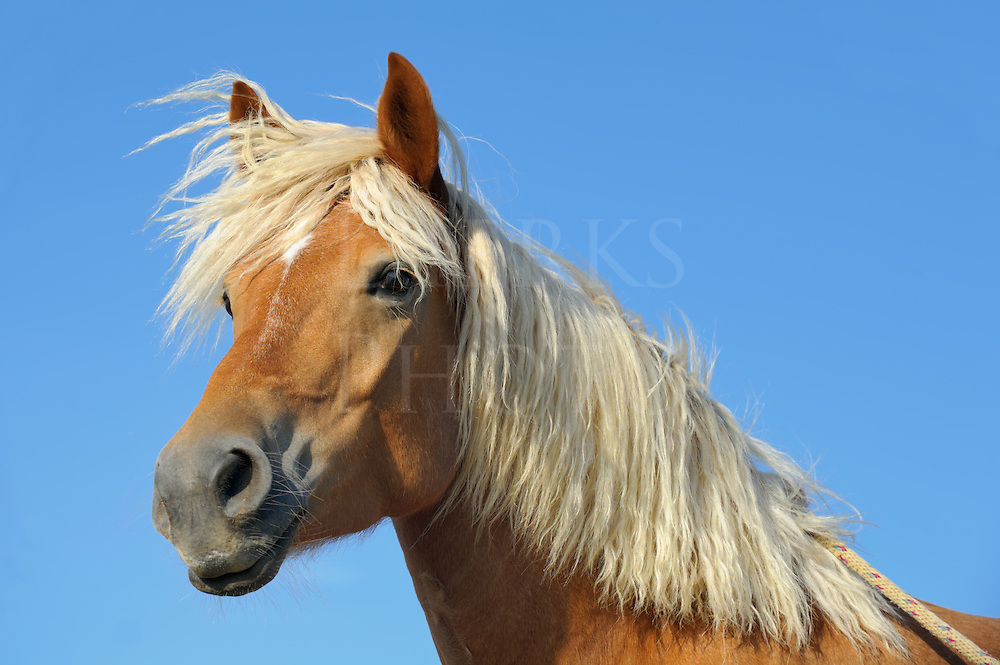 Palomino horse head shot with long blonde mane hair blown by the wind, three quarter view against clear blue sky, Pennsylvania, PA, USA.