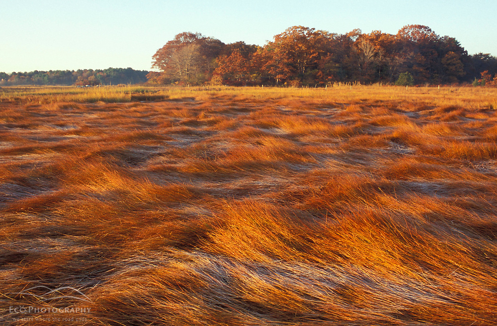 """Frost on grasses in a New Hampshire salt marsh. Tidal marsh.  """"Massacre Marsh.""""  New Hampshire Seacoast.  Fall. Rye, NH"""