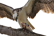 Male osprey opening up fish before taking to feed fledglings at nest, Everlgades National Park, Florida