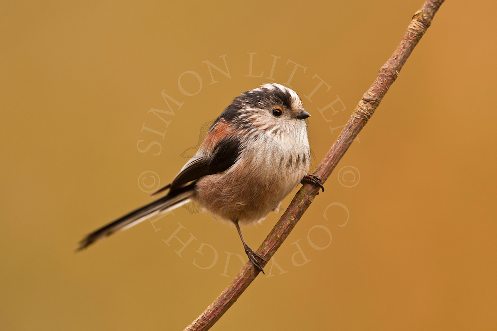 Long-tailed Tit (Aegithalos caudatus) adult, perched on branch, UK.