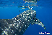 whale shark, Rhincodon typus, and snorkeler, Kona Coast, Hawaii Island ( the Big Island ), Hawaiian Islands, USA ( Central Pacific Ocean ) MR 358