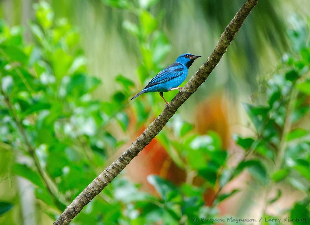 Blue Dacnis [Dacnis cayana]; Gamboa, Panama
