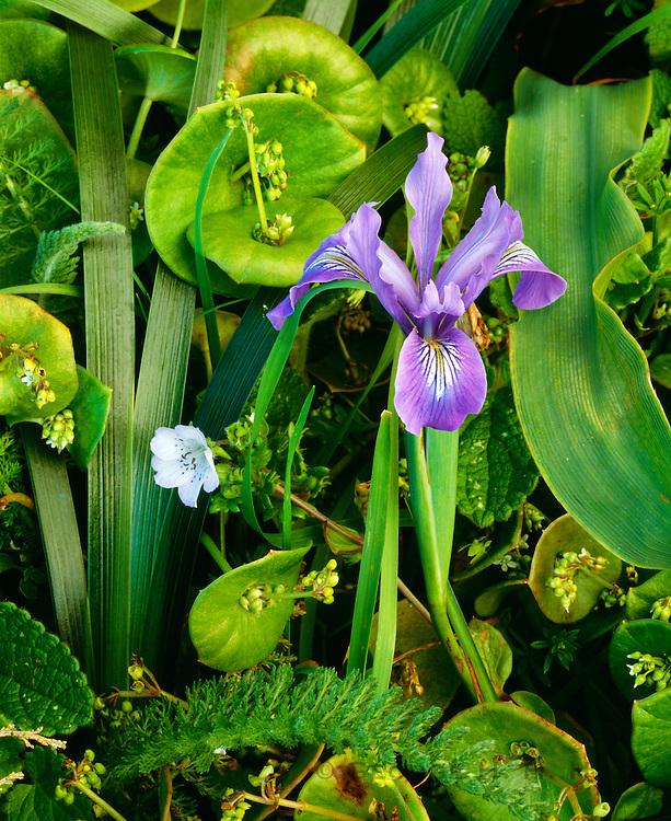 0608-1007B ~ Copyright:  George H. H. Huey ~ Douglas iris [Iris douglasiana] in bloom .  Point Reyes National Seashore, California.
