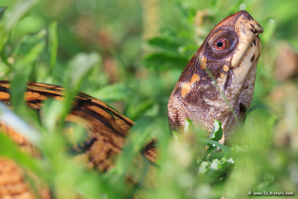 Close-up photo of a box turtle in tall grass.