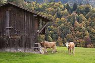 SCHWEIZ - HABKERN - Kühe auf der Weide vor einem Stall - 07. September 2018 © Raphael Hünerfauth - http://huenerfauth.ch